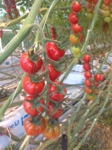 Extra Special Tomkin Tomatoes