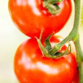 Classic Large Vine Tomatoes